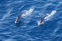 le bonjour des dauphins