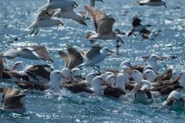 puerto_deseado_peche_albatros2531