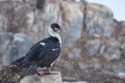 antarctique_cormoran-1