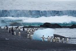 antarctique_manchot_adelie-13-4-1