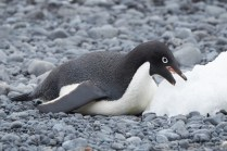 antarctique_manchot_adelie-31-1