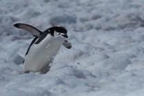 antartique_manchot_jugulaire-3-1-1
