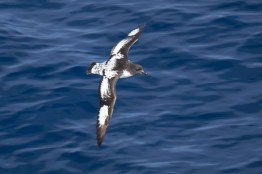 antartique_petrel-3-1-1