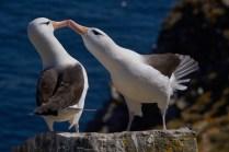 malouines_albatros_sourcil_noir-81