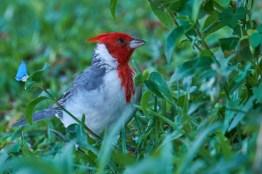 Estoros_del_Ibera_Cardinalis 8