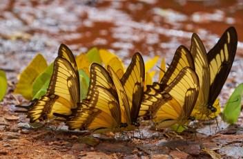 Iguasu_Papillon 24 1