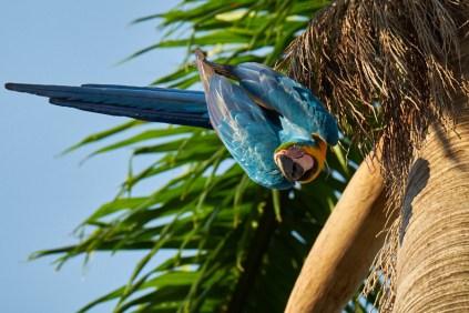 Pantanal_Ara_Bleu_jaune 24