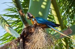 Pantanal_Ara_Bleu_jaune 9