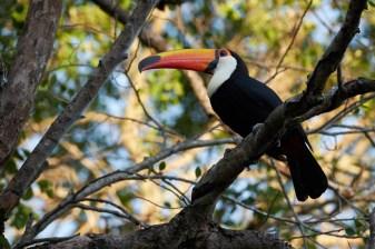 Pantanal_Toucan 1