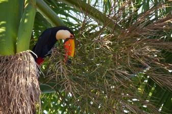 Pantanal_Toucan 10 1