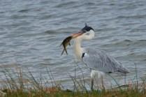Uruguay_Valizas_Heron