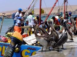 Débarquement de sardines