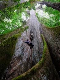 Le ceibo, un arbre gigantesque du Yasuni