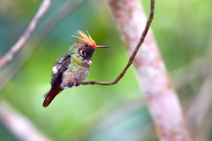 colibri avec huppe endémique de la région de Moyobamba