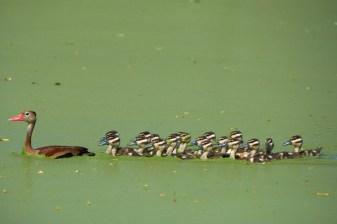 Maman et petits canards