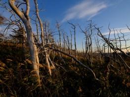 Forêt morte à Terre-Neuve