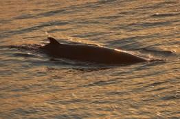 Dos de Baleine au petit matin