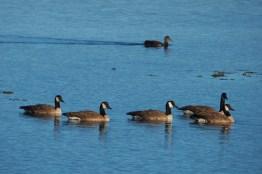 Bernache du Canada dans un lac de Terre-Neuve
