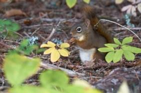 Ecureuil au parc du Bic