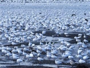 Oies des neiges partout