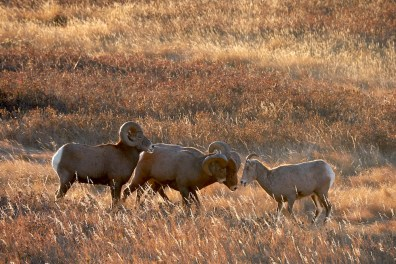 Mouflon du Canada dans le Dakota du Nord