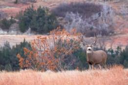Cerf mulet au Dakota du Nord