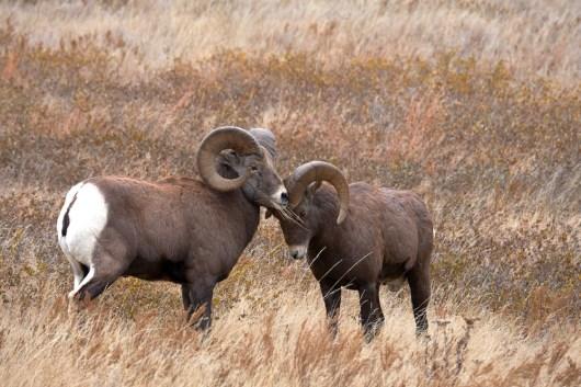 Mouflon : pousse toi
