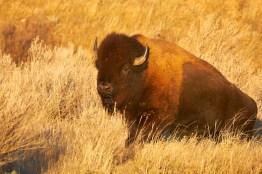 Papa bison