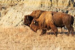 On ne lâche pas la femelle bison