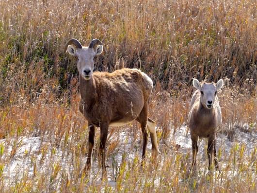 Femelle mouflon et son petit