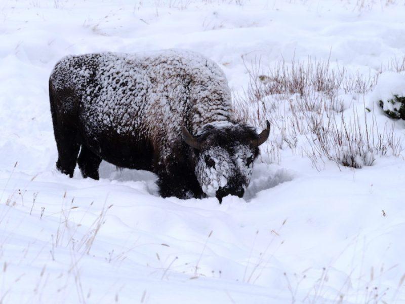 Les parcs nationaux du Yellowstone et du Grand Teton