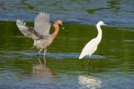 Heron et grande aigrette