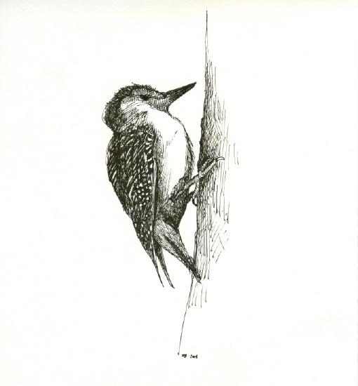 Red BelliedWoodpecker