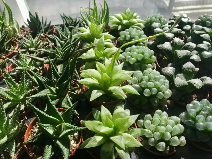 assorted Haworthias
