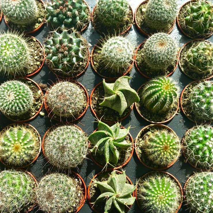 itty-bitty cacti
