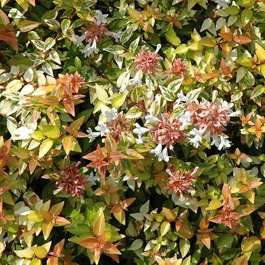 Kaleidoscope Abelia