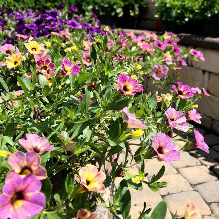 Calibrachoa - plants for bright shade
