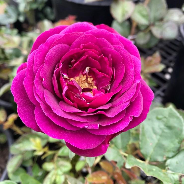Celestial Night Roses