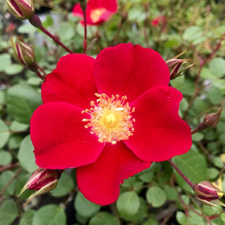 Rosa Oso Easy Roses