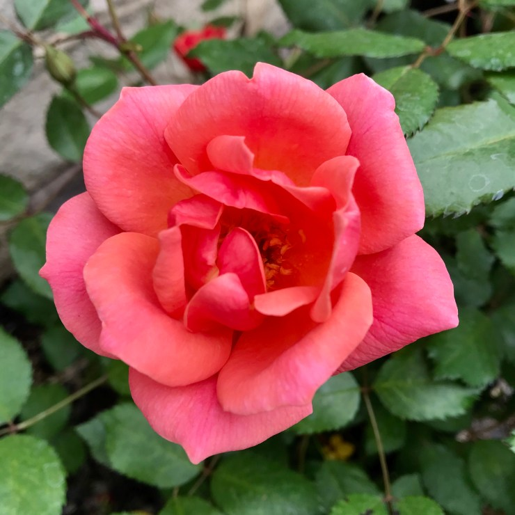Coral Knock Out Roses