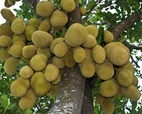 Photo of Jackfruit the National fruit of Bangladesh