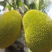 Photo of Ripe jackfruit