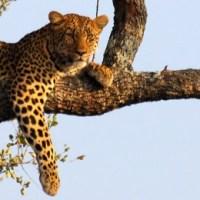 The Leopard Bone
