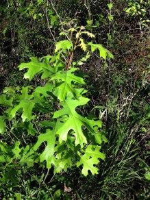 baby oak tree