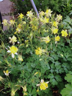 Aquilegia sp. (Columbine)