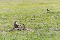 An adorable prairie dog family (and could that be a burrowing owl in the background?).