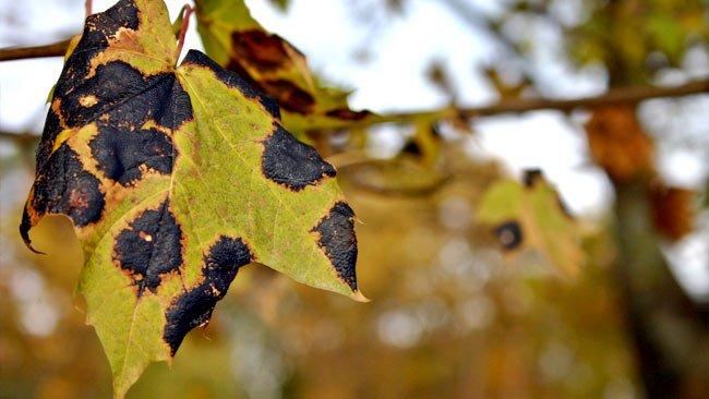 Pest & Disease Control Toronto - Tar Stain diseased Tree
