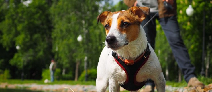 walking your human jack russell parents