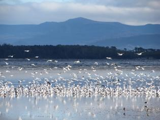 Birds on Bruny Island.