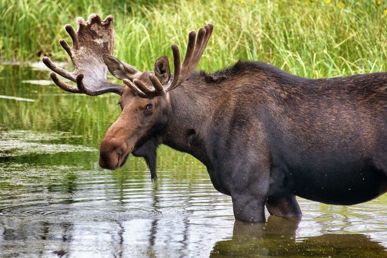 moose in a river chilling